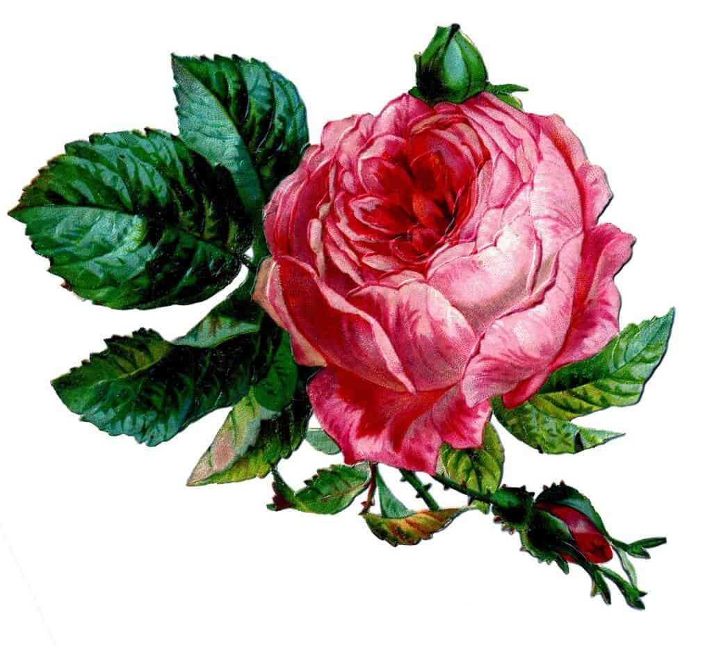 cabbage rose painting